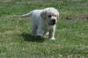 Labrador retriever  - foto 3