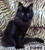 Mainská mývalí kočka luxusní koťata s PP - foto 3