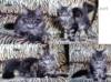Mainská mývalí kočka luxusní koťata s PP na chov  - foto 3