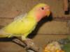 PRODÁM - agapornis růžohrdlý-mláďata  - foto 3