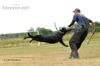 Prodám německý ovčák štěňata černá z PP - foto 3