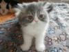 Prodám perská a exotická koťátka s p.p. - foto 3