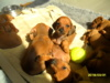 Štěňátka Jezevčík hladkosrstý červený s PP - foto 3