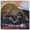 Štěňátka Tibetské dogy s PP - foto 3