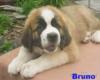 Svatobernardský pes / Bernardýn s PP - foto 3