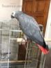 Žako  papoušci prodej - foto 3