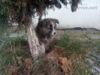 Akita-Inu žíhaná fenka - foto 4