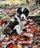 Border kolie štěně, fenka - foto 4