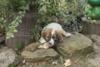 Český horský pes s PP-štěně,prodej - foto 4