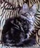 Mainská mývalí kočka luxusní koťata s PP - foto 4