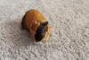 Prodám morče / morčata - foto 4