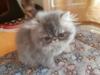 Prodám perská a exotická koťátka s p.p. - foto 4