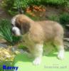 Svatobernardský pes / Bernardýn s PP - foto 4