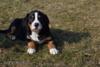 Velký švýcarský salašnický pes s PP - foto 4