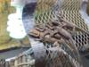 Agama vousatá - foto 5