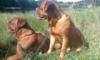 Bordeauxská doga - prodám kvalitní štěňátka s PP - foto 5