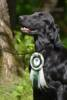 Flat coated retriever - foto 5