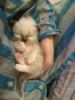 Krásná koťátka birmy posvátné s PP - foto 5